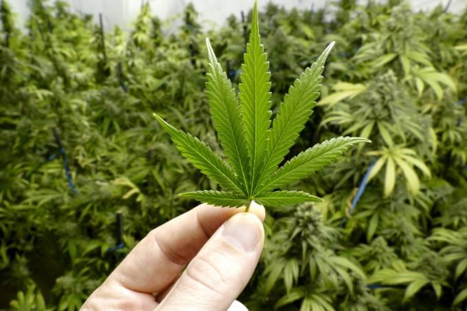 De guerra comercial a cannabis